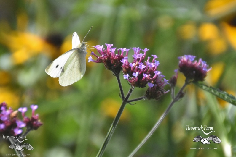 large-white-butterfly-MKB_9321.jpg