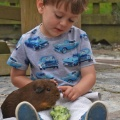 Guinea pig handling and petting on a farmstay, Padstow, Cornwall
