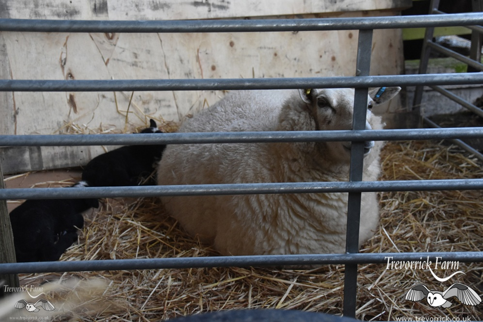 Twin newborn lamb petting and cuddles, Farm stay experience