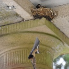 Swallows feeding young brood