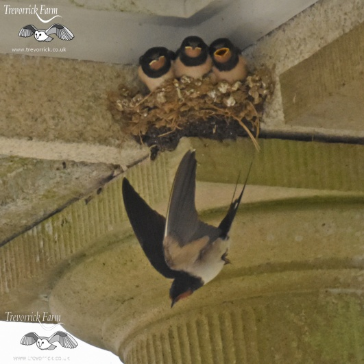 swallows-feeding-DSC_7818.jpg