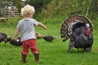 Turkey hens and strutting stags on a farmstay holiday