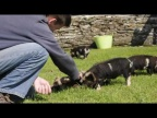 Kune kune piglet having a tummy rub - Holiday Cotatges, Padstow, Cornwall