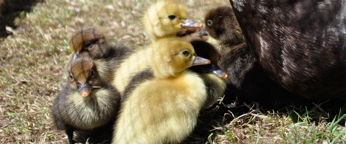 ...sometimes with ducklings...