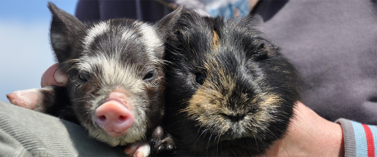 2015 has been special..We have piglets and guinea pigs!