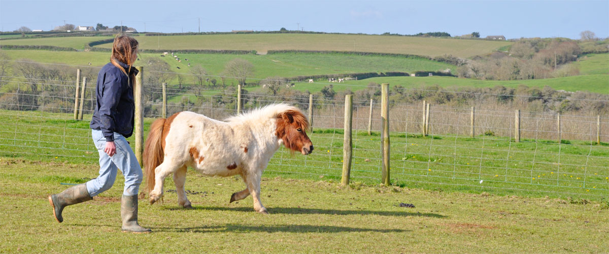 Snowflake our miniature Shetland pony having a walk around...