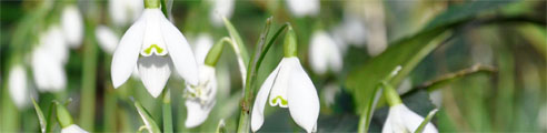 Snowdrops at The Lost Gardens of Heligan